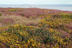 English Heathland in summer Stock Image