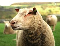English Herdwick sheep Royalty Free Stock Photo