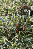 English Holly Royalty Free Stock Images
