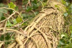 English ivy Stock Images