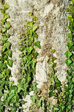 English Ivy Royalty Free Stock Photos