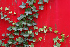 English Ivy Climbs Vibrant Red Wall Stock Photos
