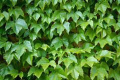 English Ivy is a clinging evergreen vine plant royalty free stock photo