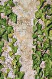 The English Ivy Stock Image