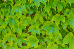 English Ivy Stock Photography