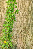 English ivy,Hedera helix. Beautiful green ivy climbing up big tree trunk stock image