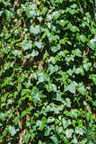 English ivy hedera helix climbing on an old tree trunk Stock Photo
