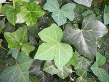 English Ivy (Hedera helix) Royalty Free Stock Photos