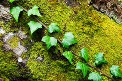 English ivy plant growing over old moss covered tree trunk royalty free stock photography