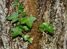 English ivy vine on a lichen covered tree trunk. A large English ivy vine Hedera helix with bright green leaves climbing up the trunk of a large tree with Royalty Free Stock Images