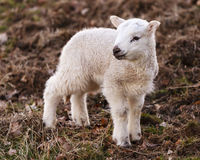 English Lamb Urinating Royalty Free Stock Photos