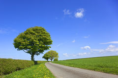 English landscape. An english country lanscape with wheatfields trees dandelions flowering in the grass verge and hawthorn hedges under a blue sky in springtime Stock Photos