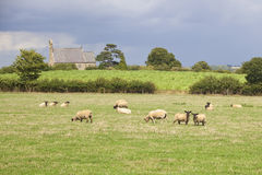 English landscape. With a small rural church and sheep grazing in a meadow Royalty Free Stock Photography