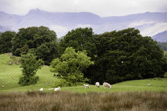 English landscape. A flock of sheeps pastures on the green hills of England Royalty Free Stock Images
