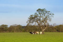 English landscape with grazing cattle. An english country landscape with cattle grazing beneath a tree under a blue sky in springtime Royalty Free Stock Images