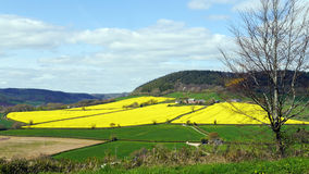 English landscape in Spring. A field planted with a rapeseed crop lights up the landscape in Devon England in Springtime Royalty Free Stock Image