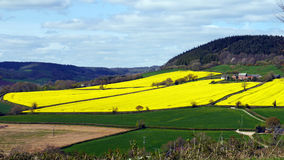 English landscape in Spring. A field planted with a rapeseed crop lights up the landscape in Devon England in Springtime Stock Image