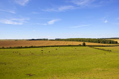English landscape. A traditional summer english landscape with woodland and patchwork fields and hereford cows grazing under a blue summer sky in the yorkshire Royalty Free Stock Images