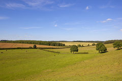 English landscape. A traditional english landscape under a blue summer sky with patchwork fields and grazing meadows with hereford cows in the yorkshire wolds Royalty Free Stock Photos