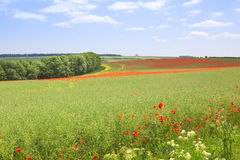 English landscape with wild red poppies. A view across the rolling landscape of the yorkshire wolds in summertime with poppies flowering amongst the oilseed rape Stock Photography
