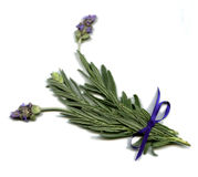 English Lavender Royalty Free Stock Photography