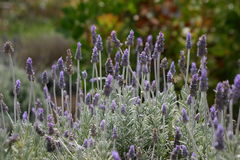 English Lavender. A blooming lavender bush, shot outside stock photo