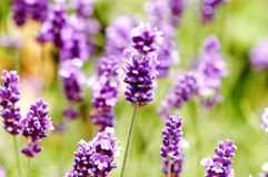 English lavender Stock Images