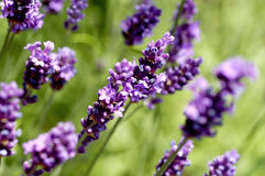 Free English Lavender Royalty Free Stock Photography - 7902697