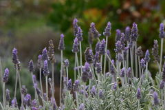 English Lavender Field. A field of purple English Lavender stock photos