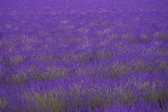 English lavender field Royalty Free Stock Image
