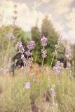 English lavender Royalty Free Stock Image