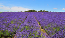 English Lavender Fields. Fields of purple Lavender in an English landscape Royalty Free Stock Image