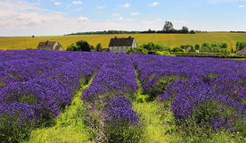 English Lavender Fields. Fields of purple Lavender in an English landscape with houses in the background Stock Image
