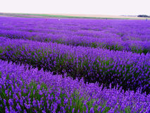 English lavender filed. Blue, purple, violet. It is something extraordinary to visit this fabulous lavender field in England. The place is full of all shades of Royalty Free Stock Photos