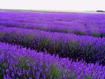 English lavender filed Royalty Free Stock Photos