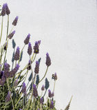 English Lavender in flower against a white wall. Royalty Free Stock Images