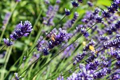 English Lavender and Honey Bee stock image
