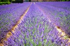 English Lavender, Lavender, Field, Purple Royalty Free Stock Photos