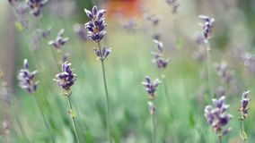 English Lavender, Lavender, Flower, Plant Stock Image