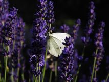 English Lavender, Lavender, Purple, French Lavender royalty free stock images
