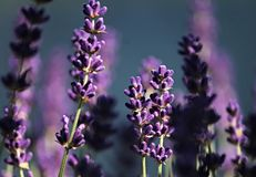English Lavender, Lavender, Purple, Plant stock image