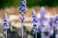 English Lavender plant blooming on meadow. Seen in Poland in Cracow stock photography
