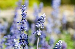 English Lavender plant blooming on meadow. Seen in Cracow, Poland stock photo