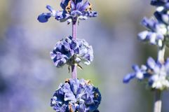 English Lavender plant blooming on meadow. Seen in Cracow, Poland royalty free stock image
