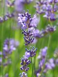 English Lavender, Plant, Lavender, Flower Royalty Free Stock Image