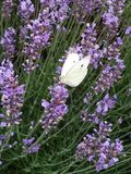 English Lavender, Plant, Lavender, French Lavender royalty free stock photography