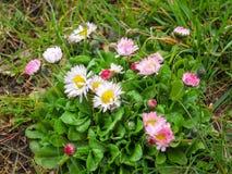 English lawn daisy. It`s latin name is Bellis perennis Stock Photos