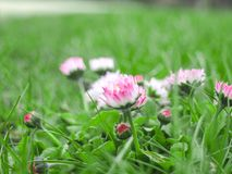 English lawn daisy. It`s latin name is Bellis perennis. Soft focus Stock Images