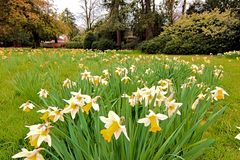 An English Lawn Resplendent in Flowering Narcissi. Brighten a Spring morning.  Narcissi are a group of largely Spring flowering plants, including Daffodils stock image