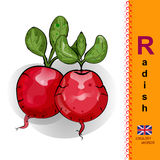 English letter R. The Illustration of Two red radishes. Royalty Free Stock Photo